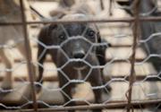 Emergenza cani randagi a Bucarest. Eutanasia di massa